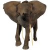 African Elephant Head image #43230