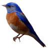 Avian, Western Blue Bird image #3508