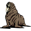 Big Black-skinned Walrus Skin Layers Photo image #48635