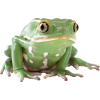 Big Eyes Frog  Image image #43145