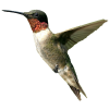 Bird  Male Humming Bird image #3503