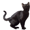 Black Cat Image  Transparent image #30373
