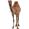 Camel  Photo Transparent image #37102