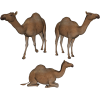 Camel  Photo Transparent image #37104