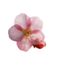 Cherry Blossom Images Free Download image #45510