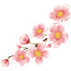 Cherry Blossom  Transparent Background image #45486