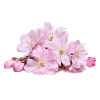 Cherry Blossom Transparent image #45509