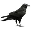Cool Raven Transparent image #32818