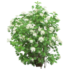 Cutout Of Bush With White Flowers image #2811