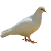 Dove, Birds, White image #41743