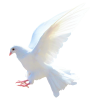 Dove  Transparent Image image #41742
