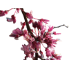 Download And Use Cherry Blossom  Clipart image #45503