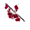 Download Cherry Blossom Clipart image #45493