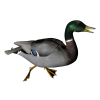 Hd Duck Image In Our System image #20125