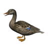 Hd Duck Image In Our System image #20141