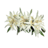 Edelweiss Shaped Crown Looking Picture A Lot image #48584