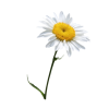 Flower Flowering Plant Oxeye Daisyvase Flower Common Daisy image #48736