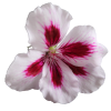 Transparent  Flower Image image #17959