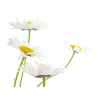 Flowering Plant Petal Chamomile Common Daisy White image #48744