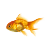 Gold Fish image #26329