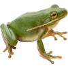 Green Frog image #43130