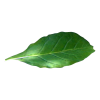 Green Tobacco Leaf Alone Photo image #48047