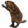 Hd Combative Beaver Transparent Background image #47726