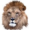 Picture Download Lion Head image #37134