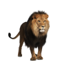 Clipart Collection  Lion image #42300