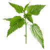 Little Twig Nettle Leaf Green Photo image #48480