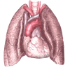 Lung  Clipart Best image #25410