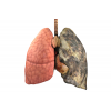 Clipart Free Lung Best Images image #25417