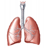 Collection Lung  Clipart image #25402