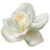 Magnolia Family Flowering Plant Jasmine Rose image #48794