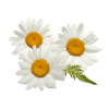 Mayweed Daisy Chamomileroman Chamomile Essential Oil image #48738