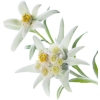 Multi-leaf Edelweiss White Picture image #48580