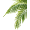 Palm Tree Leaf image #43080