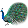 Best Free Peacock  Image image #22887