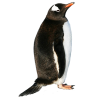 Penguin Picture Download image #19565