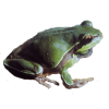 Pine Barrens Tree Frog Image Transparent image #43136