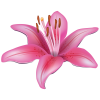 Pink Clipart Lily Flower Picture image #46496