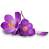 Free Purple Flower   Download image #6208