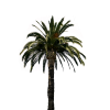 Real Palm Tree Transparent thumbnail 43067