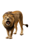 Roar, Angry Lion image #42280
