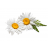 Roman Chamomile German Essential Oil image #48746