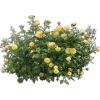 Rose Bush Icon image #2839