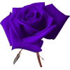 Vector Rose image #18974