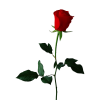 Download And Use Rose  Clipart image #18966