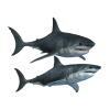 Shark  Transparent Pic image #42727