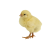 Single Baby Chicken image #40305